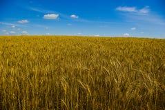Wheat Field. In Alberta Stock Photos