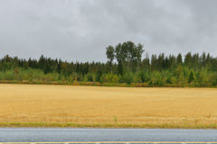 Wheat field along road in autumn rainy day Royalty Free Stock Photo