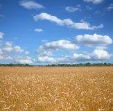 Wheat Field And Bly Sky. Royalty Free Stock Image