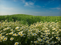 Wheat Field And Flowers Royalty Free Stock Image
