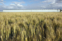 Wheat Field And Greenhouses Royalty Free Stock Photo