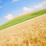 Wheat Field Angled. Angled shot of a wheat fields with green grass and blue sky Stock Image
