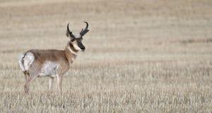 Free Wheat Field Antelop 3-2-1 Stock Photos - 6328093
