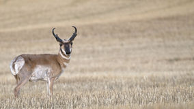 Wheat Field Antelope 2-2-2. Antelope in Wheat Field in Western Oklahoma Stock Images
