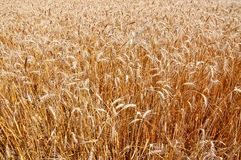Wheat field as a background. Golden wheat growing in a farm field, closeup, as a background Royalty Free Stock Photo