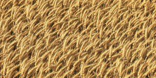 Wheat field as background. Closeup with DOF Stock Photography