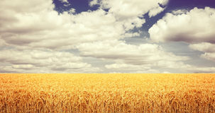 Wheat field in august Stock Photo