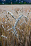 Wheat. Field in Austria, three heads of  in a field Stock Photography