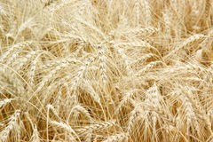 Wheat field background Royalty Free Stock Photo