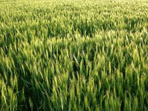 Wheat Field Background Royalty Free Stock Photography
