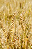 This is a  wheat field Royalty Free Stock Image