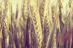 Wheat in the field. stock photo