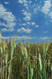 Wheat field background. Cereal field with blue sky background Stock Photos