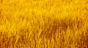 Wheat field background Stock Image