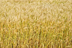 Wheat field background. Stock Photos