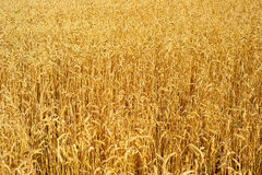 Wheat field background Stock Images