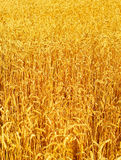 Wheat field background Stock Image