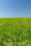 Wheat field. On a background of the blue sky Royalty Free Stock Image