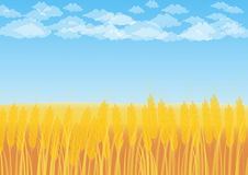 Wheat field on a background of blue sky. With cumulus clouds Stock Photos