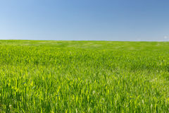 Wheat field on a background of the blue sky. Young wheat field on a background of the blue sky Royalty Free Stock Photo