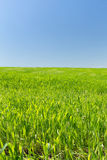Wheat field on a background of the blue sky Royalty Free Stock Photos