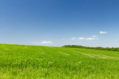 Wheat field on a background of the blue sky. Young wheat field on a background of the blue sky Royalty Free Stock Photos