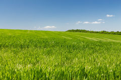 Wheat field on a background of the blue sky. Young wheat field on a background of the blue sky Royalty Free Stock Image