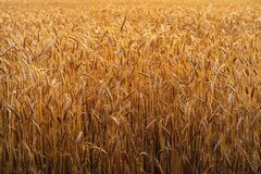 Free Wheat Field Background. Ears Of Golden Rye. Meadow Of Agriculture Harvest Royalty Free Stock Photography - 196799777