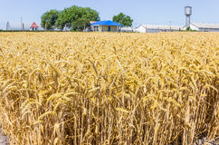 Wheat field on the background of farm buildings Royalty Free Stock Image