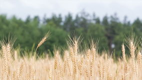 Wheat field. Wheat on the background of the forest and sky stock footage
