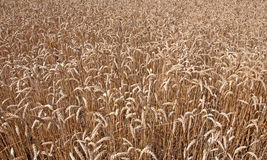 Wheat field. Background of wheat growing in a field Royalty Free Stock Images