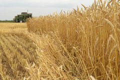 Wheat field on a background of the harvester. Field of wheat ready to be harvested. Selective focus Royalty Free Stock Images
