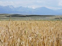 Wheat field on a background of mountains stock images