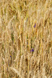 Wheat field background. Stock Photography