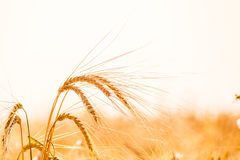 Wheat field. Background of ripening ears of meadow wheat field. Royalty Free Stock Photography