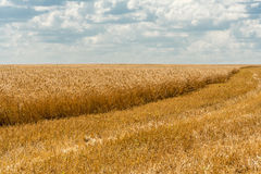 Wheat field. On a background of  sky with clouds Stock Image