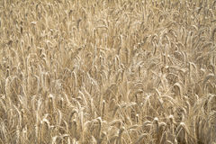 Wheat. Field background a summer day Royalty Free Stock Photos