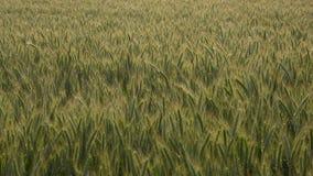 Wheat field background (triticum) Stock Photography