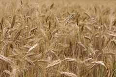 Wheat field background Royalty Free Stock Image