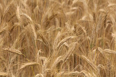Wheat field background Royalty Free Stock Photos