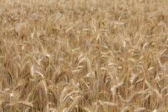 Wheat field background Stock Photos