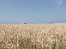 Wheat field with bales of hay Royalty Free Stock Image
