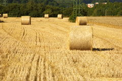 Wheat field. With bales of wheat strows Stock Image