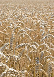 Wheat in the field. Stock Photography