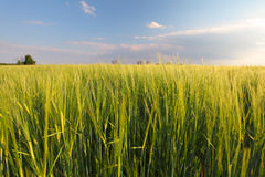 Wheat field - barley Royalty Free Stock Images
