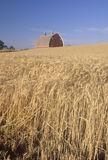 A wheat field and barn in Southeast WA Royalty Free Stock Images