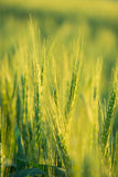 Wheat field bathing in sunlight Royalty Free Stock Photo