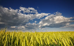 Wheat field. Beautiful clouds over wheat field Stock Photos