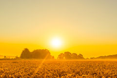 Wheat field in a beautiful sunrise. In the summer Stock Photography