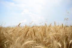 Farm of wheat Royalty Free Stock Photo
